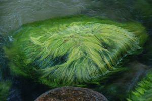 911816_algae