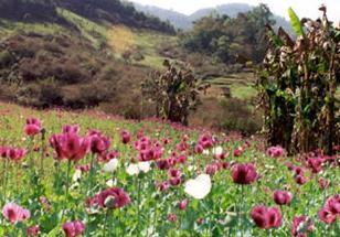 opium-poppies